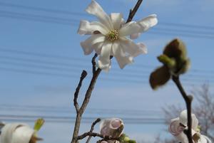 早春の花コブシを見つけてパチリ、満開です。