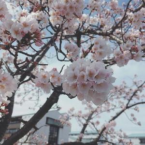*いわき明星大学の桜 開花~*