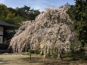 平下荒川の龍門寺のしだれ桜