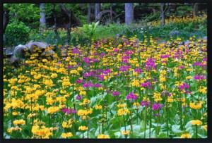 みつ花の里の「九輪草(くりんそう)」