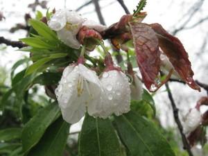 石割桜開花しました!