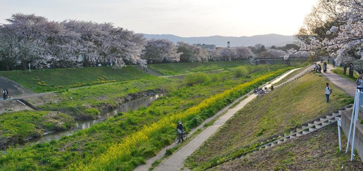 新川・桜2