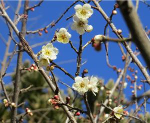 初春や・・・白梅咲いてきました。