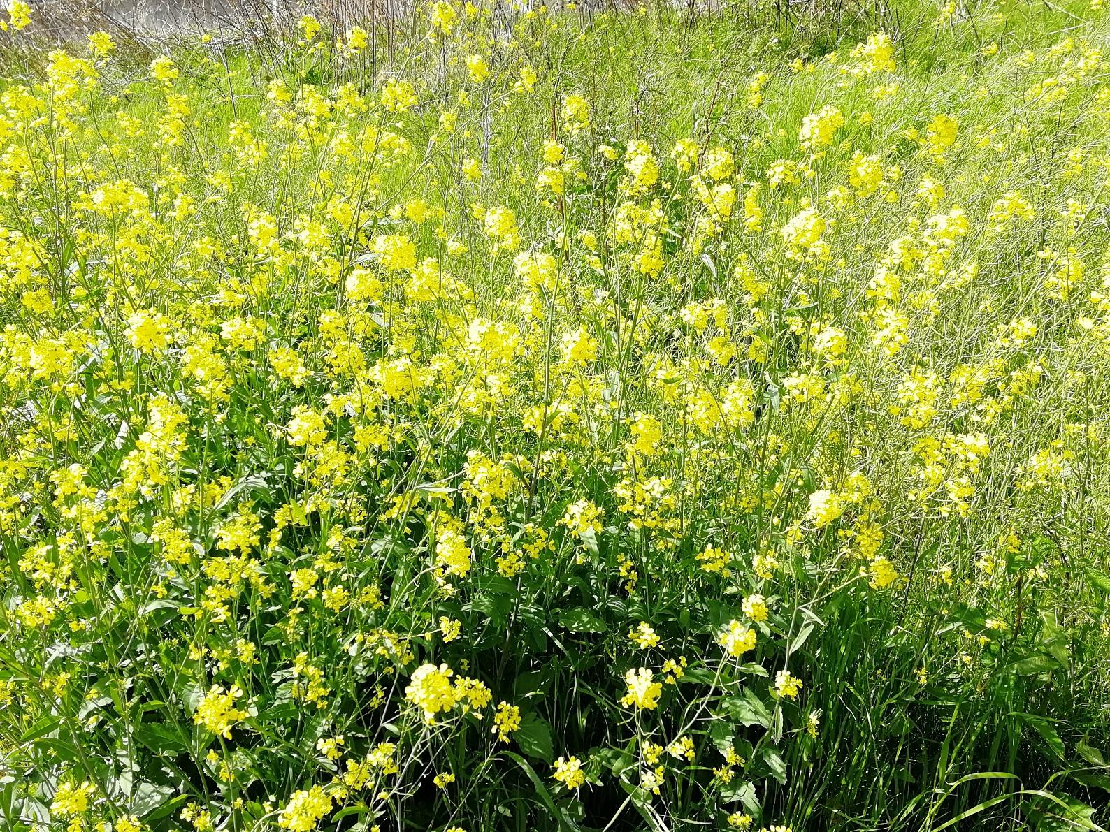 新川沿いの菜の花