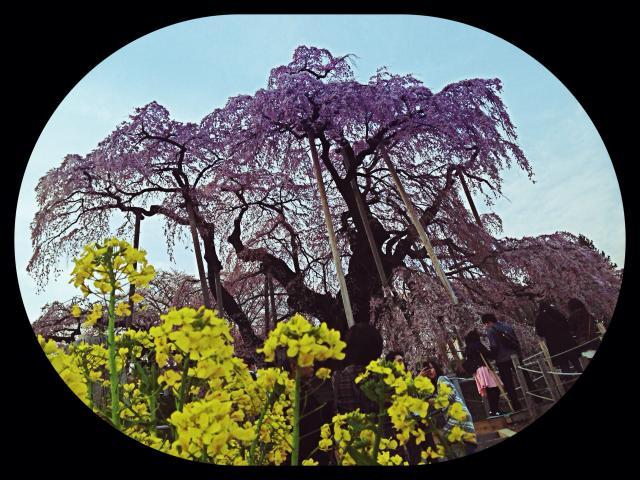 【三春町滝桜】2016.4.9現在