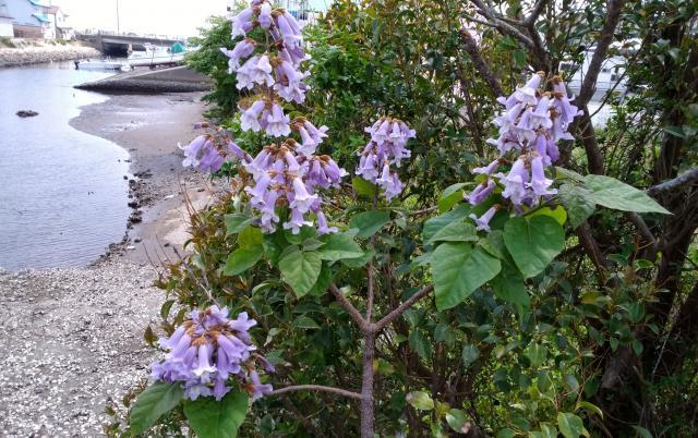 小名浜の桐の花