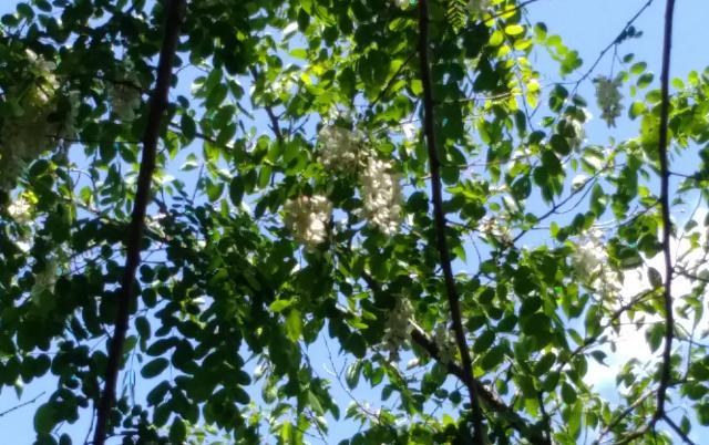 常磐地区アカシアの花