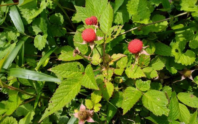野イチゴの季節