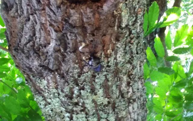 クヌギの木のカブトムシ